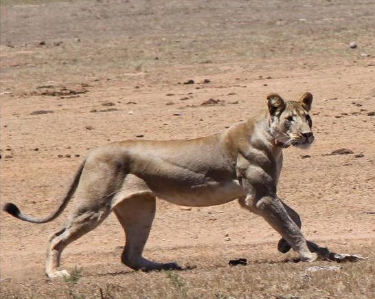 Jacked kangaroo do you even lift - photo#37